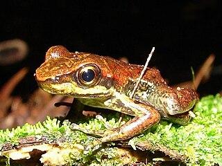 <i>Hylodes</i> Genus of amphibians