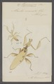 Hymenopus - Print - Iconographia Zoologica - Special Collections University of Amsterdam - UBAINV0274 065 03 0079.tif