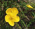 Hypericum myricariifolium (4).jpg