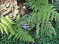 Hypolepis glandulifera - Jardin Botanique de Lyon - DSC05329.JPG