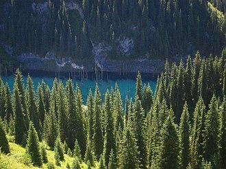 Picea schrenkiana - Forest at Kaindy Lake, southeast Kazakhstan