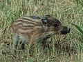 IMG Wildschwein Frischling 0925.jpg