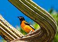 Icterus jamacaii, Dunas Park, Natal, RN, Brazil.jpg