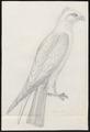 Ictinina mississipiensis - 1700-1880 - Print - Iconographia Zoologica - Special Collections University of Amsterdam - UBA01 IZ18200380.tif
