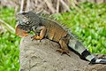 Iguana iguana Portoviejo 05.jpg