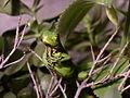 Iguana iguana Venezuela.jpg