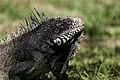 Iguana iguana en Zoologico de Barquisimeto 2.jpg