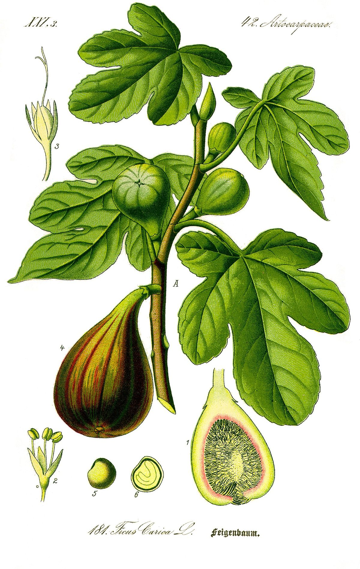 Illustration Ficus carica0 clean.jpg