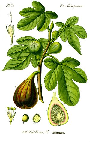 Syconium - Painting of Common Fig