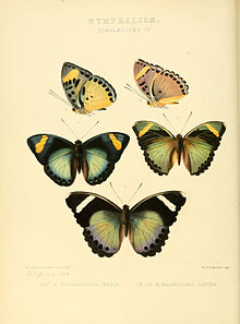 Illustrations of new species of exotic butterflies Romalæosoma IV.jpg