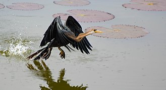 Oriental darter - A darter taking off from water.