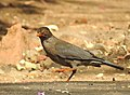 Indian Blackbird Turdus simillimus by Dr. Raju Kasambe DSCN0094 (2).jpg