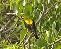 Indian Golden Oriole Q0S5469 - Lip Kee.jpg