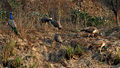 Indian Peafowl (Pavo cristatus) near Hodal W IMG 6389.jpg