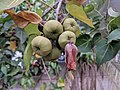 Indian tulip tree - Thespesia populnea 88.jpg