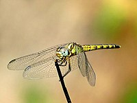 Indothemis carnatica female by kadavoor.jpg