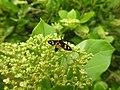 Insects Wasp from Madayipara DSCN2117.jpg