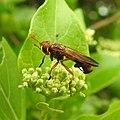 Insects Wasp from Madayipara DSCN2183.jpg