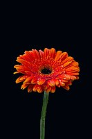 Intensively orange gerbera.jpg