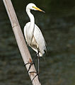 Intermediate Egret (Mesophoyx intermedia) in Hyderabad W IMG 8357.jpg