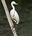 Intermediate Egret (Mesophoyx intermedia) in Hyderabad W IMG 8357.jpg