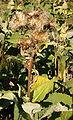 Inula helenium HabitusFruits BotGardBln0906.jpg