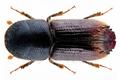 Ips sexdentatus (Boerner, 1767).png