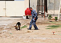 Iraqi police K9 searches for explosive material assisted by his trainer in Basrah, Iraq, May 3, 2011 110503-A-YD132-125.jpg