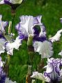 Iris 'Orinoco Flow' 04.JPG