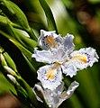 Iris at Hase-dera (5712276496).jpg