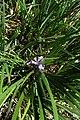 Iris douglasiana kz01.jpg