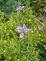 Iris milesii - Flickr - peganum (4).jpg