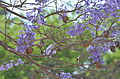 Jacaranda mimosifolia at Giza zoo by Hatem Moushir 1.JPG