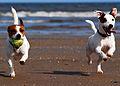 Jack Russell Terriers Lola & Eddi.JPG