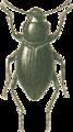 Jacobs74 scythosoma pygmaea.png