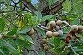 Jagua (Genipa americana) (14557582148).jpg