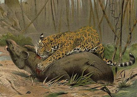 Illustration of a jaguar killing a tapir, the largest native land animal in its range Jagvstapir.jpg