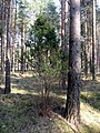 Jalovec poblíž Salaspilsu (3).jpg