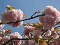 Japanische Kirschblüten - panoramio - Baden de.jpg