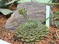 Jardin des plantes Paris Echeveria pubescens2.JPG