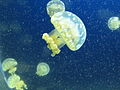Jellyfishes floating in the sea.jpg