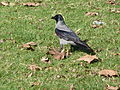 Jerusalem Independence Park grey and black bird.jpg