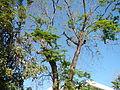 Jf9156Pterocarpus indicus Floridablanca Pampangafvf 03.JPG