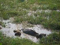 Jiangxia-buffalo-4273.jpg