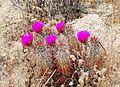 Joshua Tree National Park - Hedgehog Cactus (Echinocereus engelmannii) - 15.JPG