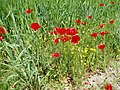 Jowshaghan جوشقان مركري كاشان (استرك )گل شقايق - panoramio.jpg