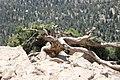 Juniper trunk in Ziarat Juniper Forest.jpg