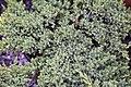 Juniperus procumbens Nana 3zz.jpg
