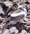 Juvenile Brown Booby (Sula leucogaster) (8373015676).jpg