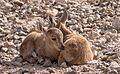 Juvenile Nubian ibex (50830).jpg